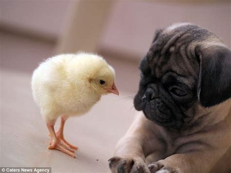 pug fugly meet fugly the pug and kfc the the friends who are as inseparable as they
