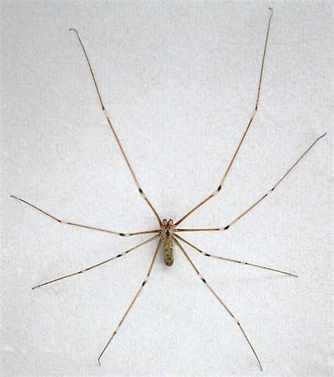 common basement spiders common basement spiders 28 images 100 common basement spiders agelenopsis spp grass 100