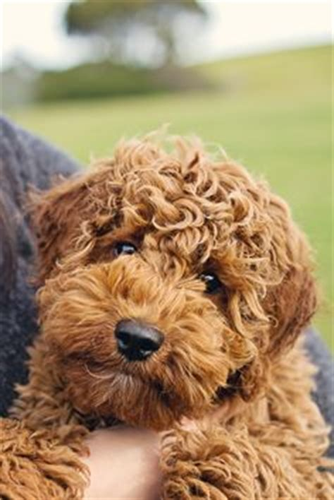 the whoodle wheaten terrier and standard poodle cross