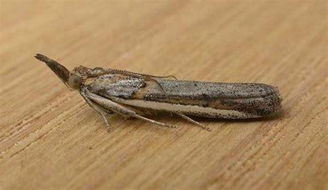 lucerne seed web moth etiella behrii