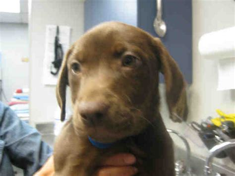 chocolate lab pitbull mix puppy awla defends breed based killing awla hawk