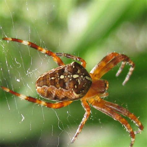 Garden Spider Markings Garden Spider