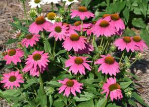 coneflowers are ideal for busy gardeners mississippi state university extension service