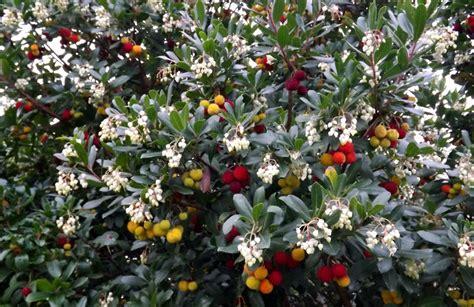 fiori inverno la coltivazione corbezzolo fiori e frutti insieme