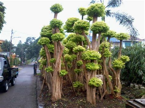 jual tanaman hias doni florist tukang taman jakarta
