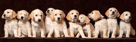 find golden retriever puppies for sale healthy golden retriever dogs for sale the golden retriever network