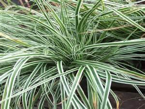 Weather Flower Mound - carex morowii everest grasses plants