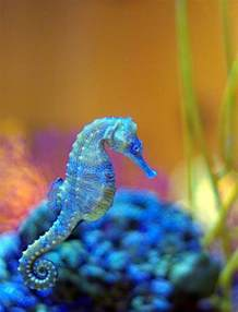 colorful seahorse seahorse is the title given to 54 species of marine fish