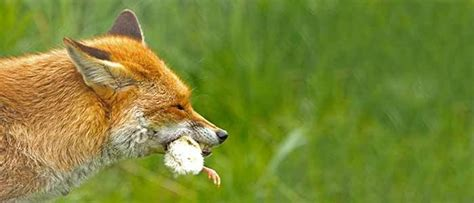 foxes  chickens