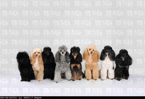 huxtable the poodle poodle parti poodle