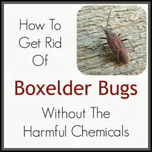Dish Soap For Garden Pest Control - 9 best images about boxelder bug how to get rid of on pinterest gardens warm and soaps