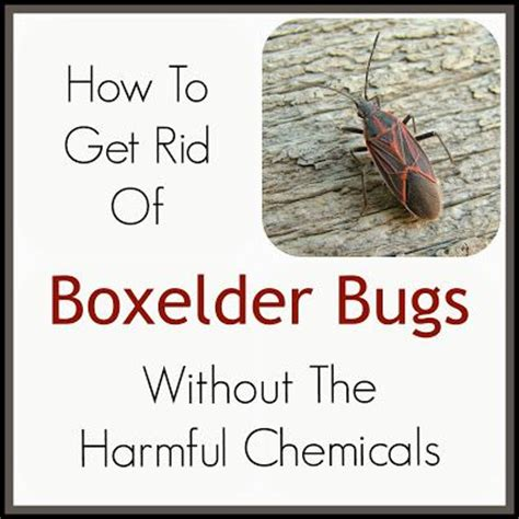 34 best how to kill boxderbugs images on pinterest
