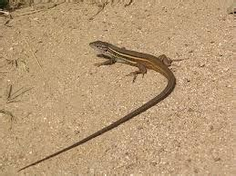 how to get rid of lizards in the house 17 best images about lizards on pinterest salamanders home and baby lizards