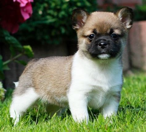 pug hybrid breeds 161 best pug mix images on pug mix breeds and pug mixed breeds