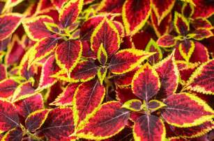 When To Start Garden Seeds Indoors - coleus plant care for color in shade
