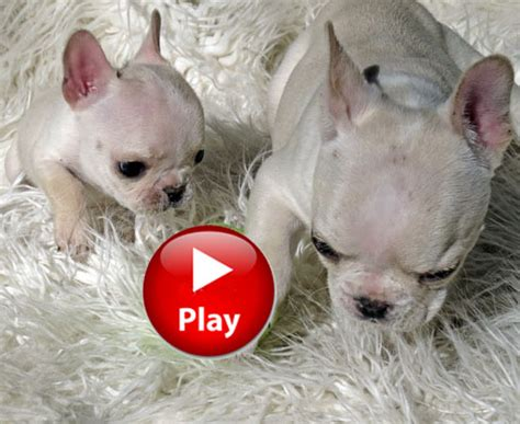 teacup bulldog puppies for sale in pa bulldog puppies teacup puppies sale teacup puppies breeds picture