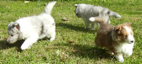 sheltie puppies for sale in pa available shetland sheepdogs puppies for sale in elizabethtown pa lnd shelties