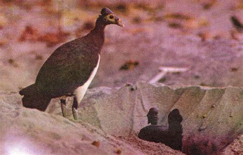 Tempat Makan Burung Anti Berantakan burung maleo si langka anti poligami alamendah s