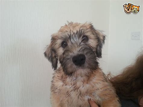 soft coated wheaten terrier puppies for adoption soft coated wheaten terrier puppies for sale tyn y gongl isle of anglesey pets4homes