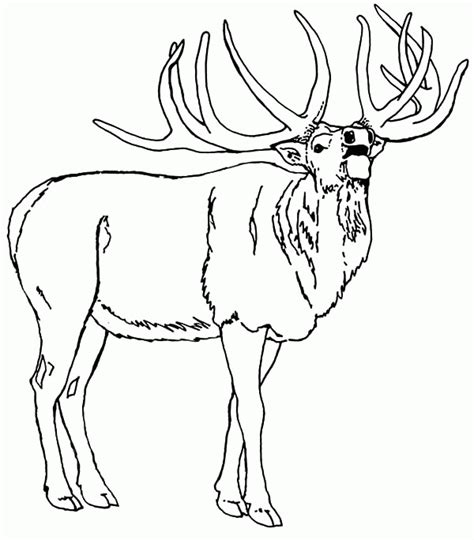 Elk Coloring Pages rocky mountain elk coloring page az coloring pages