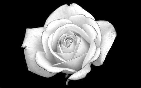 black white black and white rose desktop background hd 2560x1363