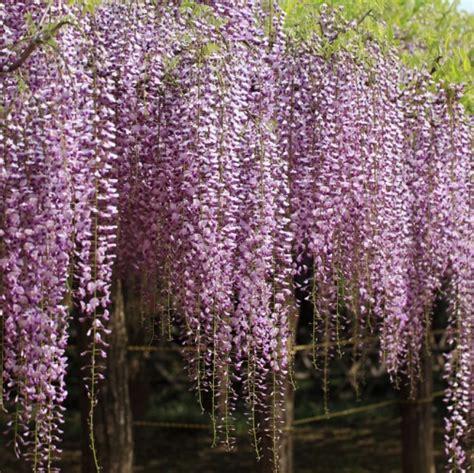 glicine fiori wisteria floribunda quot lilac quot glicine vaso 216 18cm