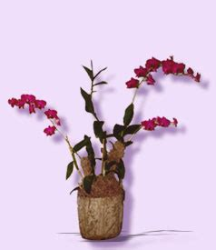 Visa Mba Rotational Program by Orchids By Orchid Floral Arrangements Delivery To