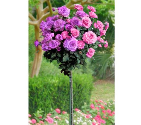 cottage farms roses cottage farms 18 quot cherish 2 in 1 patio tree