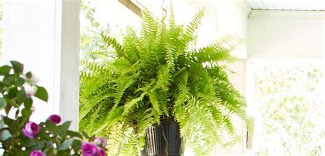 boston fern low light the 25 best boston ferns ideas on from