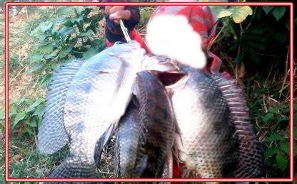 mancing ikan mujair besar gunakan umpan