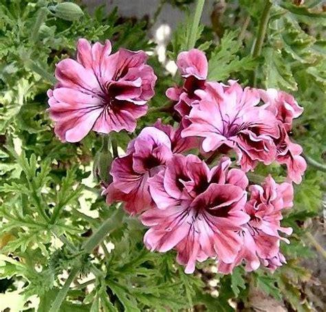 best scented geranium lovely lara bounty geranium