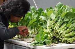 membuat tanaman hidroponik dengan paralon tanaman hidroponik paralon terbitkan artikelmu