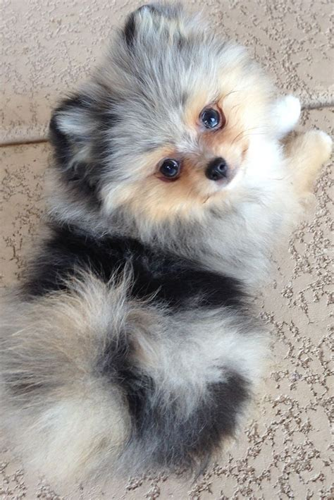 pomeranian doll best 25 pomeranian ideas on pomeranian puppy teacup dogs and