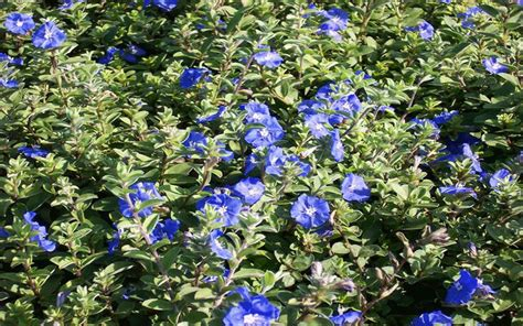 blue flowering shrubs in florida blue daze for sale naples