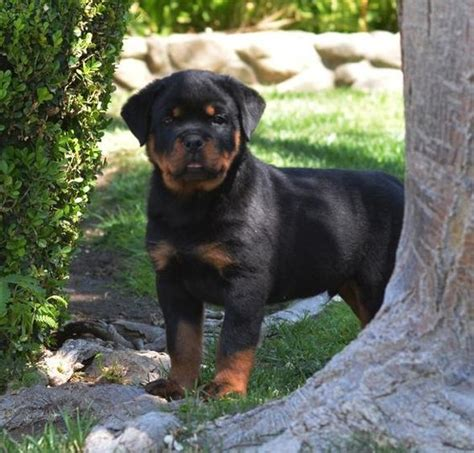 german rottweiler breeders german rottweiler puppies for sale ruelmann rottweilers inc other rottie