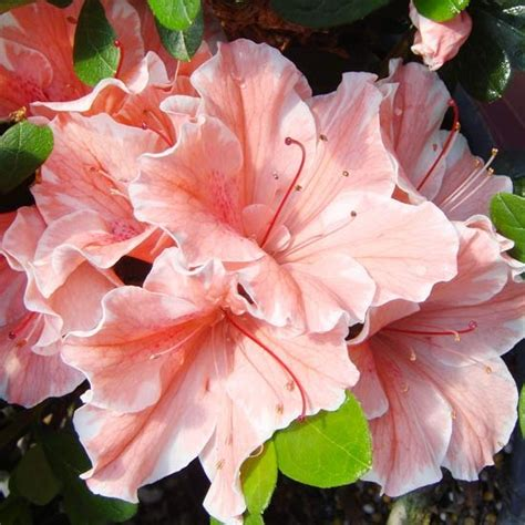 17 best images about azalea on pinterest fast growing trees shrubs and 10 years