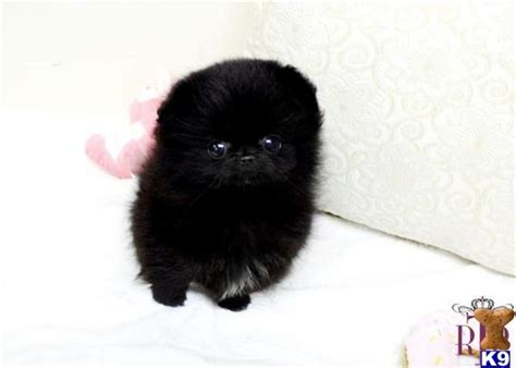 micro teacup pomeranian puppies for sale uk white micro teacup pomeranian puppies for sale uk