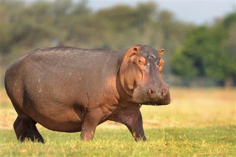 Picture Of Hippopotamus
