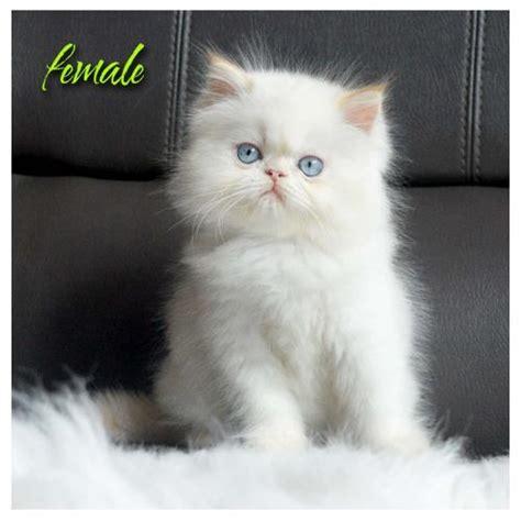 Royal Canin Maine Coon Makanan Kucing Maine Coon 4kg 1 jual kucing jual kitten anggora himalaya maine coon