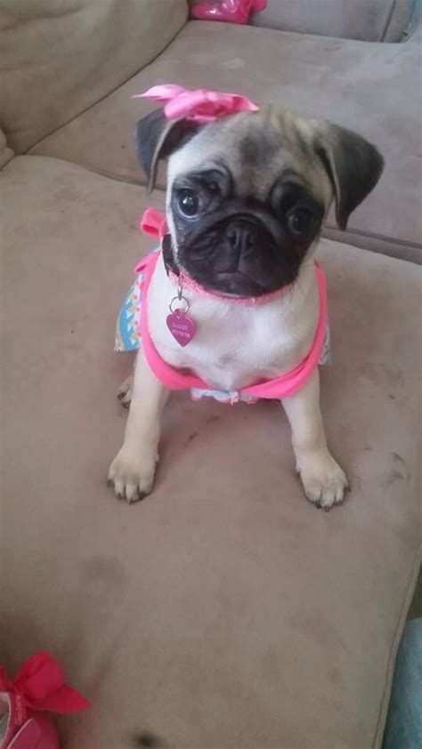 find pug puppies photo collection pin pug puppy