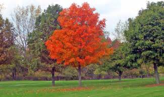 Maple tree in park free stock photo public domain pictures