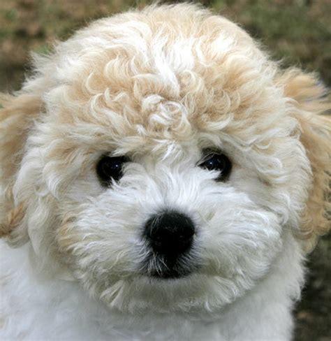 bichon frise puppies mn bichon frise puppies car interior design