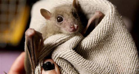 mammifero volante vivere con 260 pipistrelli nora 232 la quot batwoman d israele quot
