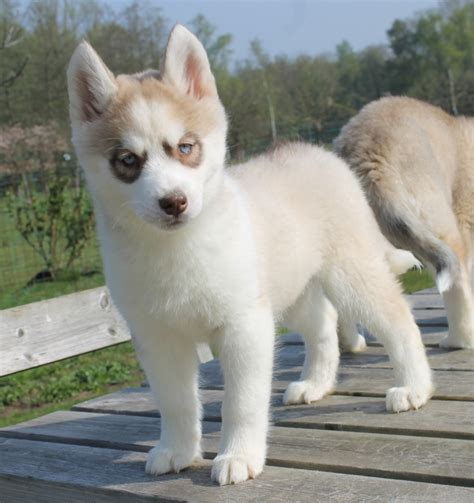 i want to buy a puppy husky puppy do you want to buy one puppies with children i want a puppy