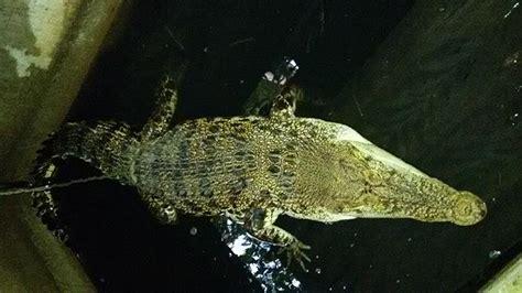 Bibit Lele Pontianak syafruddin ingin tukar buaya muara peliharaan ditukar 100 bibit ikan lele tribunnews