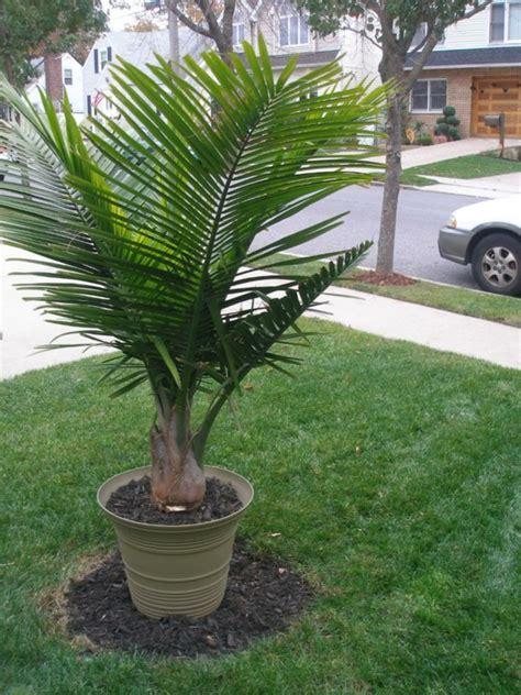 zimmerpflanzen schön dekorieren zimmerpalmen arten zimmerpalmen bilder welche sind die