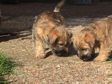 cairn terrier mix puppies for sale cairn terrier puppies for sale