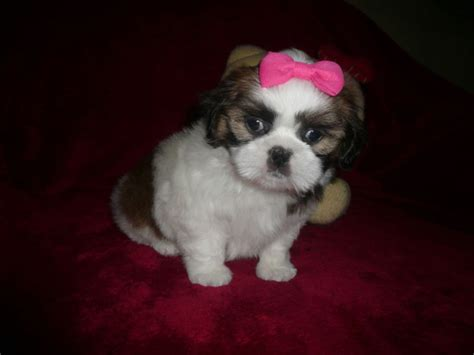 small shih tzu for sale beautiful small ckc shih tzu 2 puppies dogs puppies