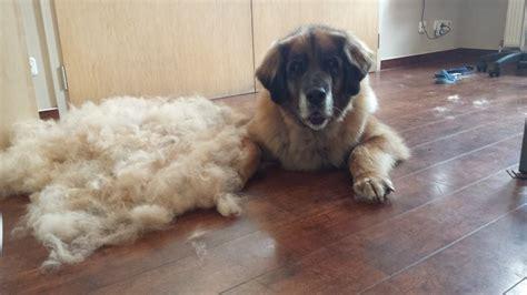lade berger hund abscheren hundefriseur feingemacht