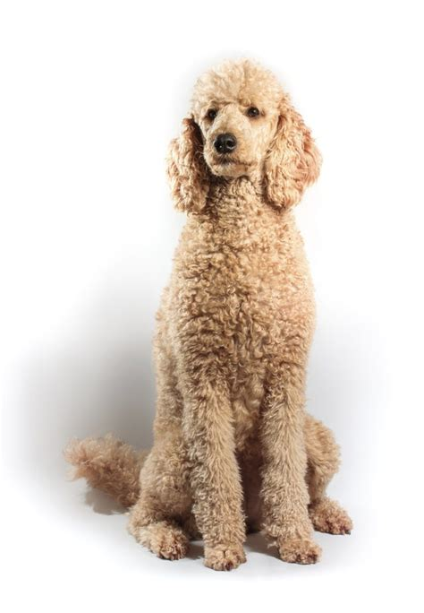 photoes of different types of poddles types of doodle dogs cuteness